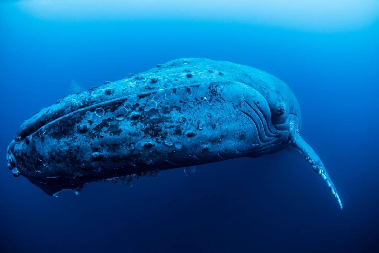 Baleine à bosse en gros plan