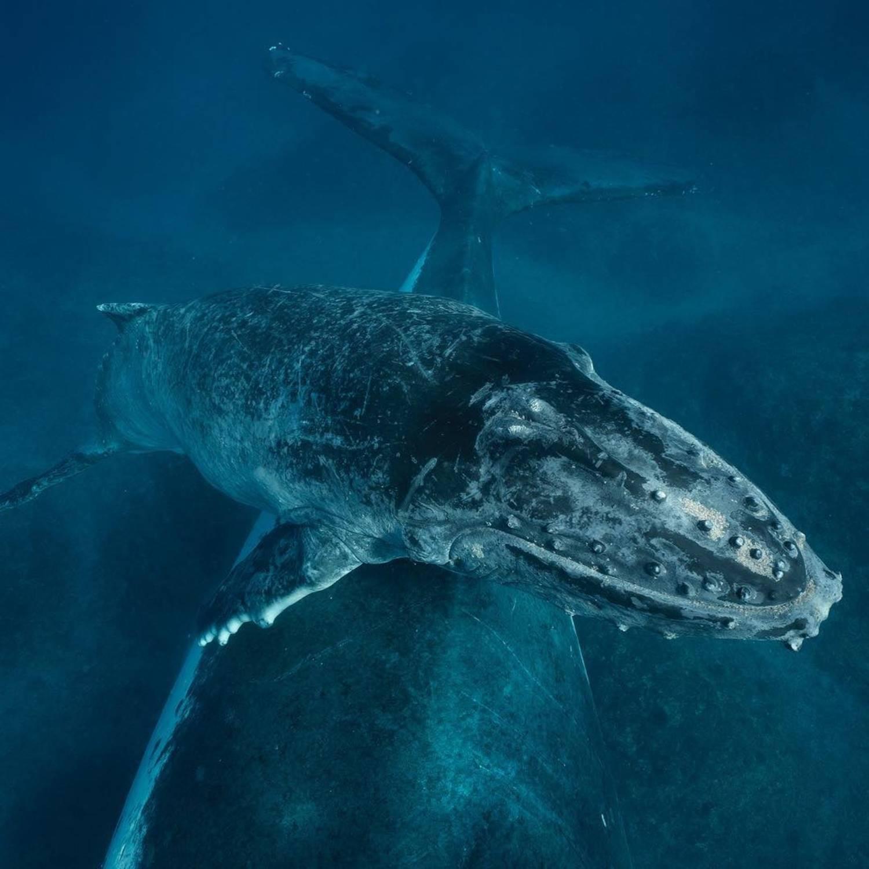 Baleineau à bosse