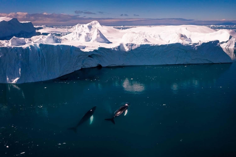 Baleines à bosse dans une baie arctique