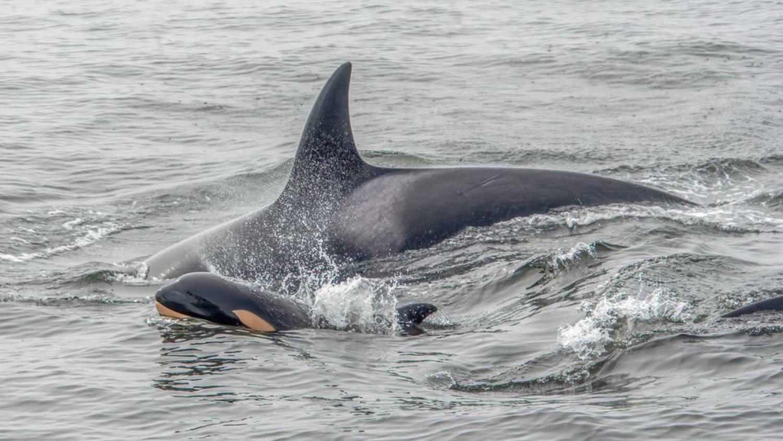 Bébé orque 1