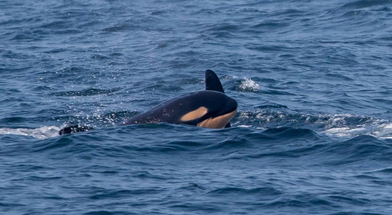 Bébé orque 2