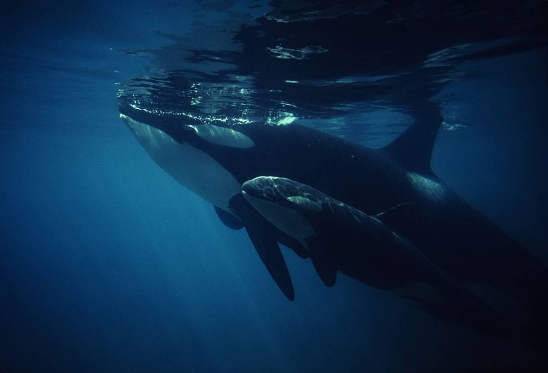 Bébé orque 3