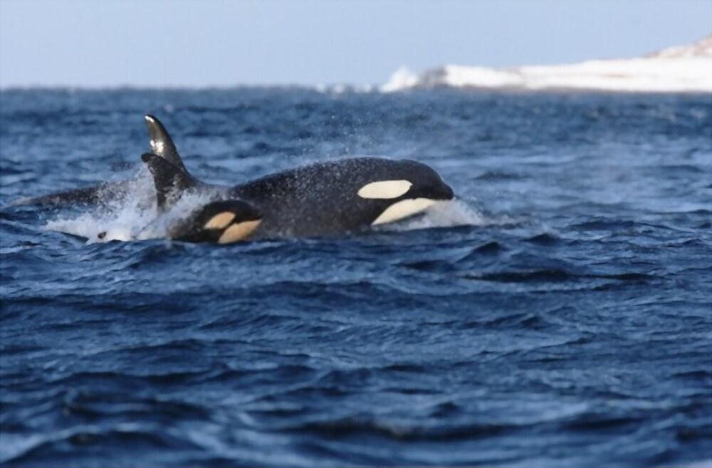 Bébé orque 5