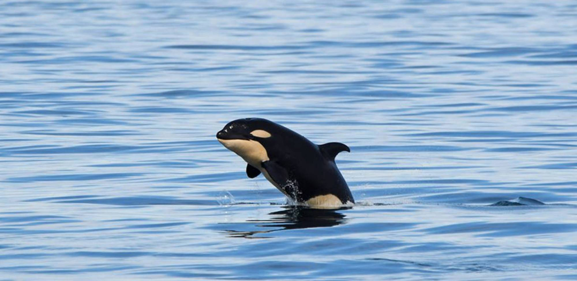 Bébé orque du sud