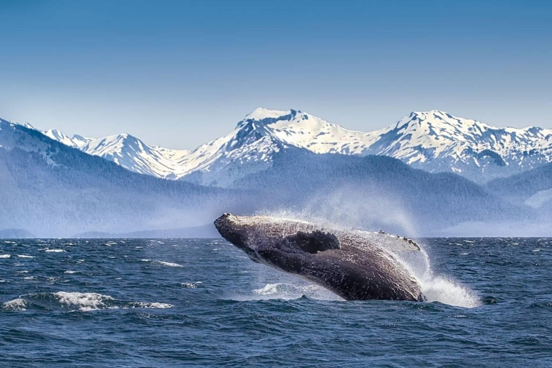 Brèche baleine à bosse