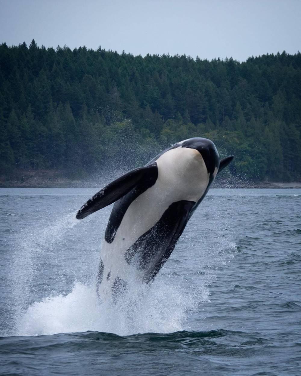 Brèche orque résidente du sud
