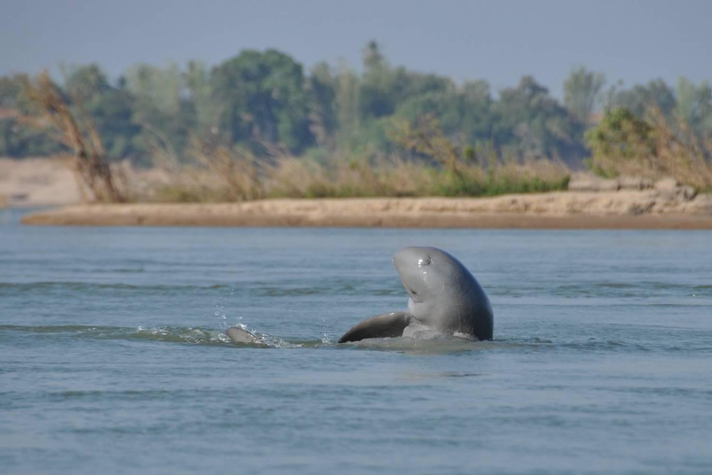 Dauphin de l'Irrawaddy 17