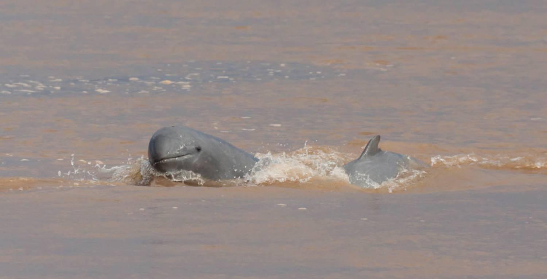 Dauphins de l'Irrawaddy 3