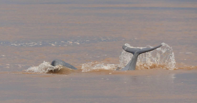 Dauphins de l'Irrawaddy 4