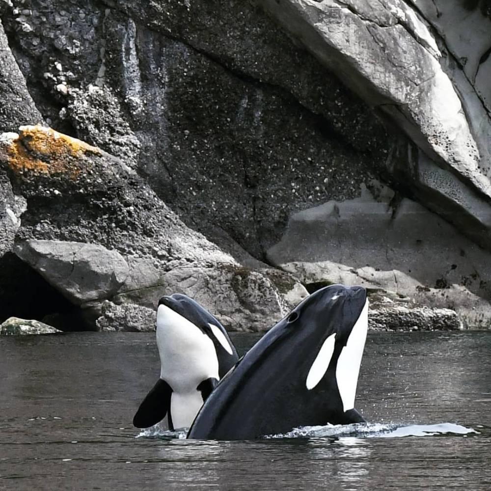 Duo orques résidentes du sud
