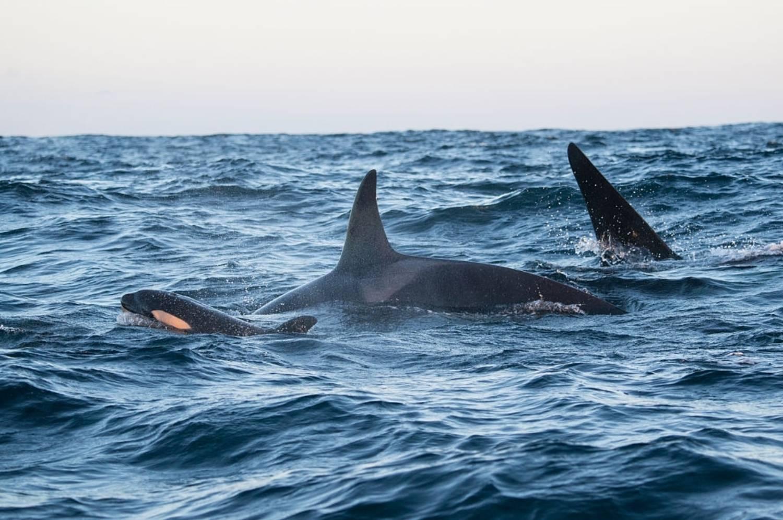 Famille avec bébé orque