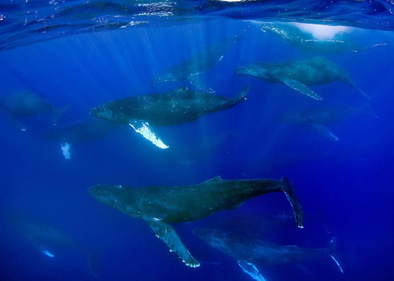 Groupe baleines à bosse