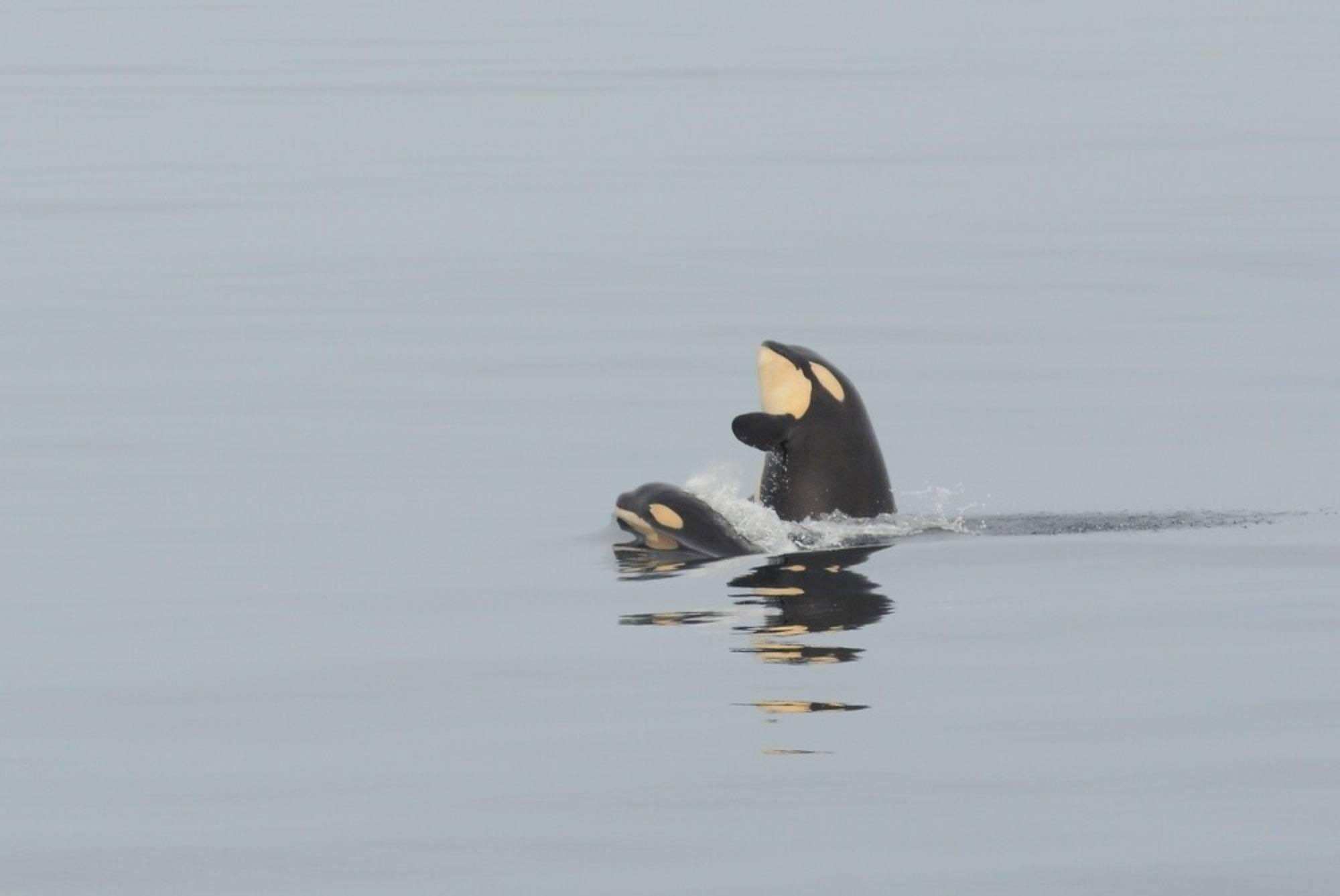 Jeunes orques du sud