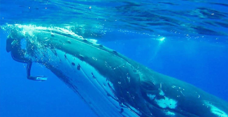 Nan Hauser face à sur une baleine à bosse