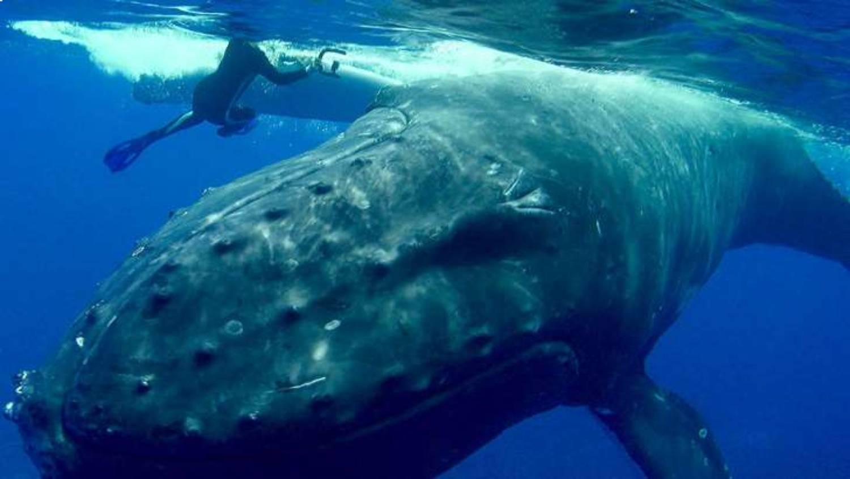 Nan Hauser sous pectorale baleine à bosse