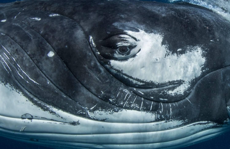 Oeil baleine à bosse