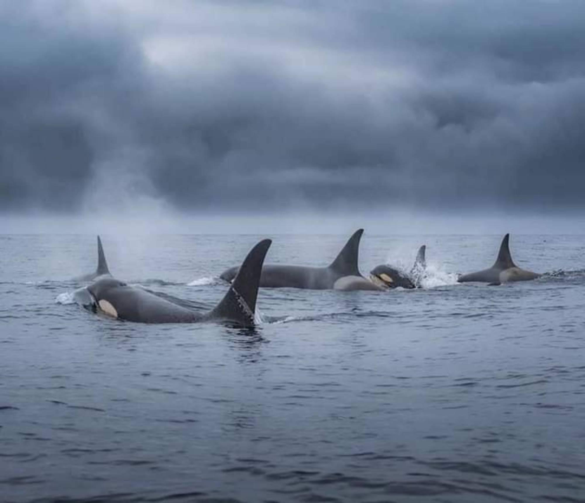 Orques résidentes du sud