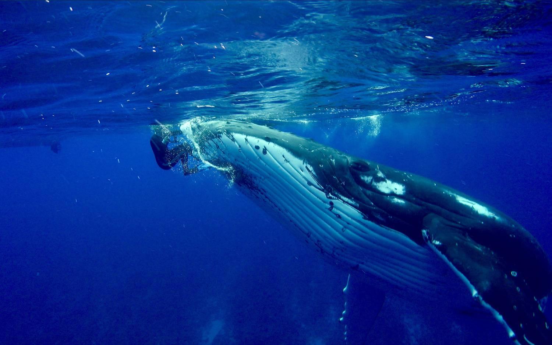 Fabuleuses Rencontres Entre Nan Hauser Et Une Baleine à Bosse