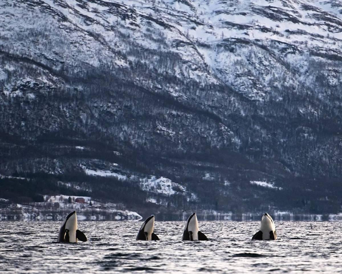 Spyhopping des orques