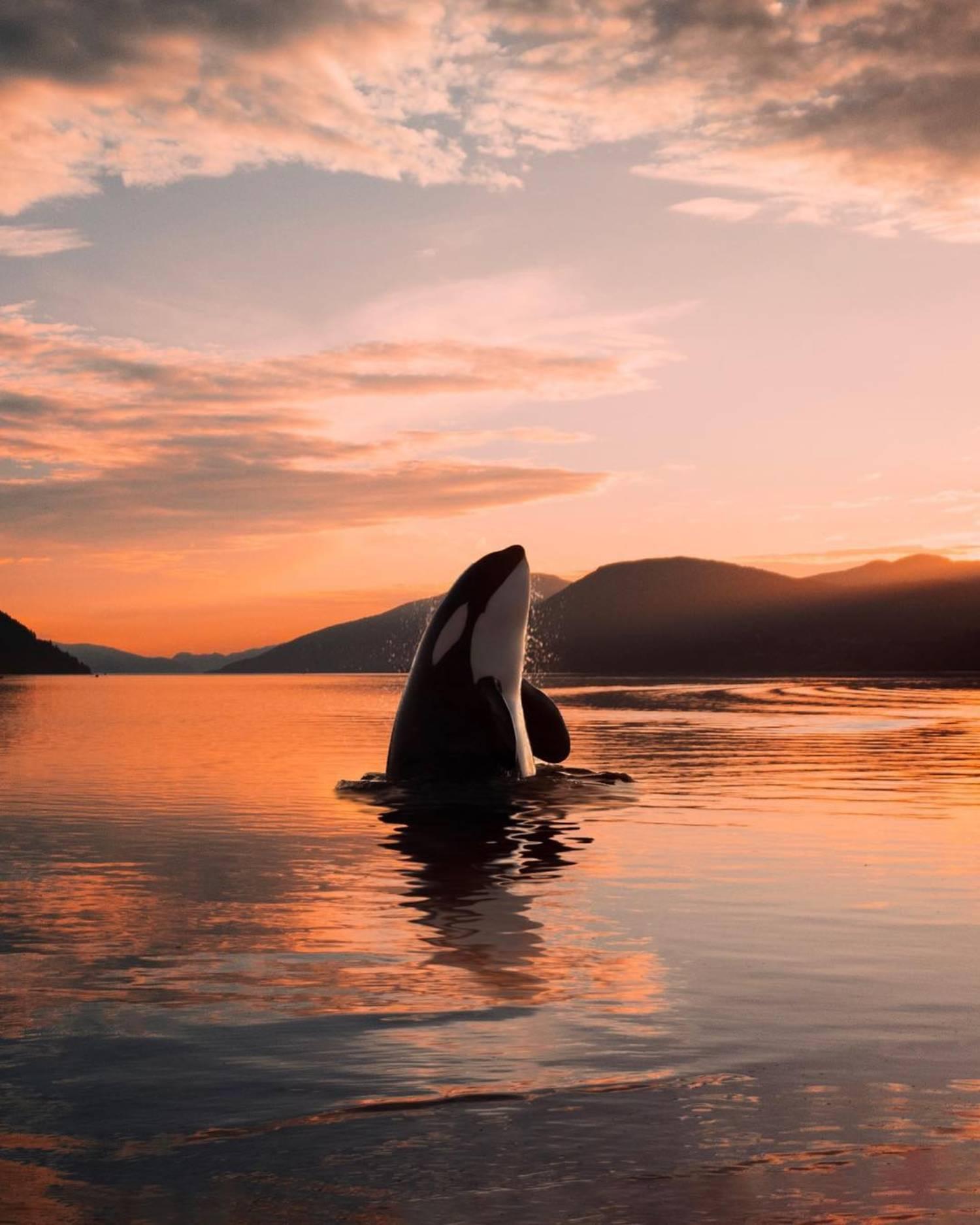Spyhopping orques résidentes du sud