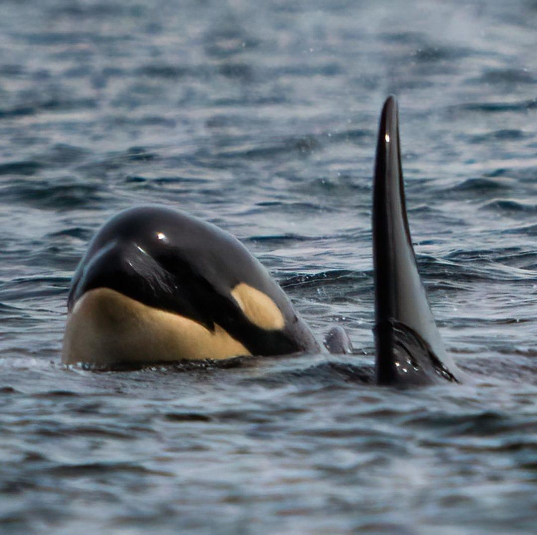 Tahlequah (J35) et son bébé orque Phoenix (J57)