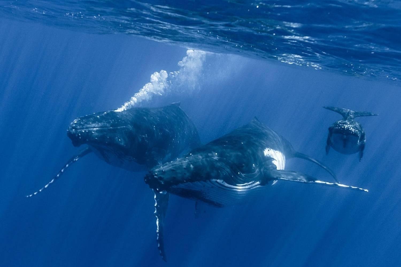 Trio baleines à bosse