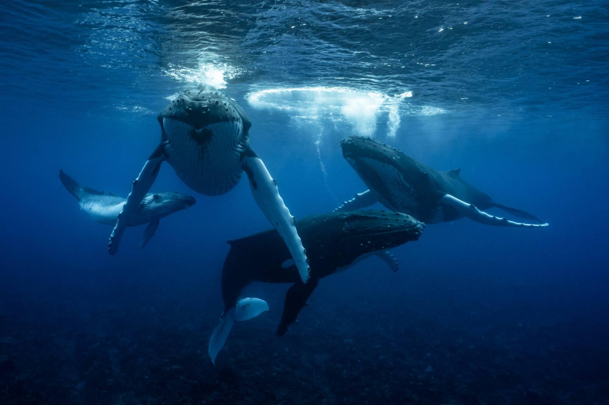 2 mâles baleine à bosse, femelle et baleineau