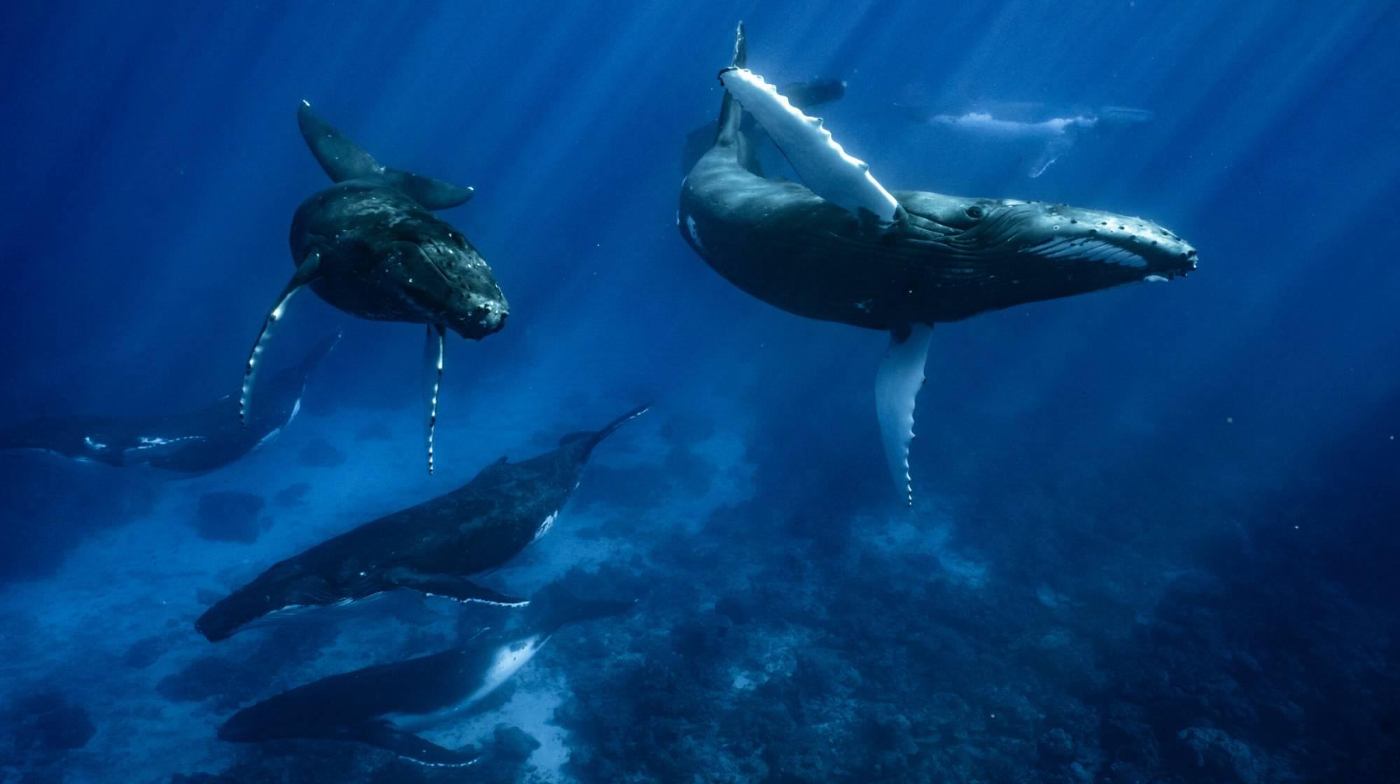 6 mâles baleines à bosse