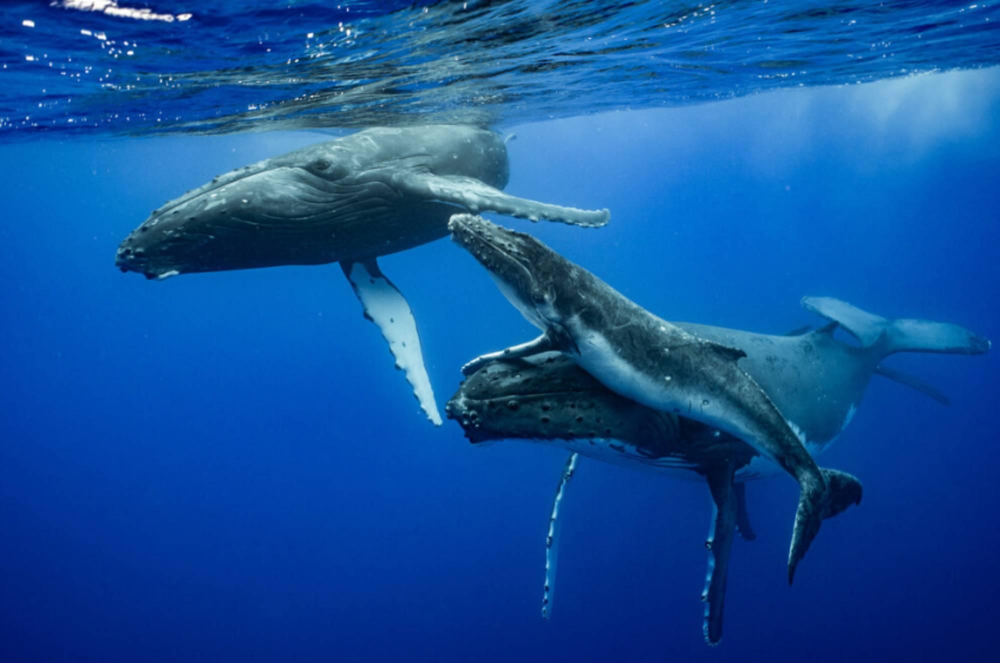 Baleine à bosse et ses prétendants