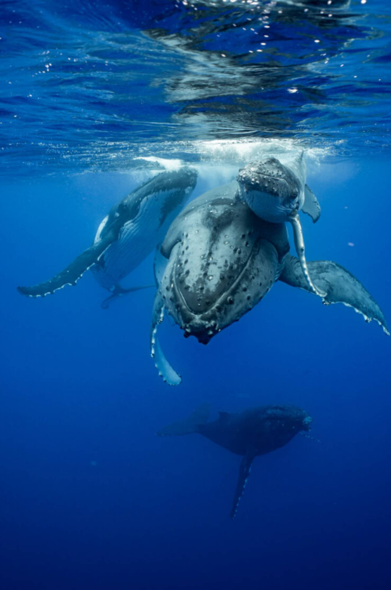 Baleine à bosse femelle repousse les avances du mâle