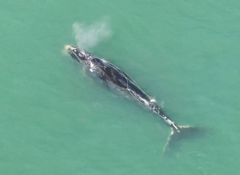 Baleine franche Groenland