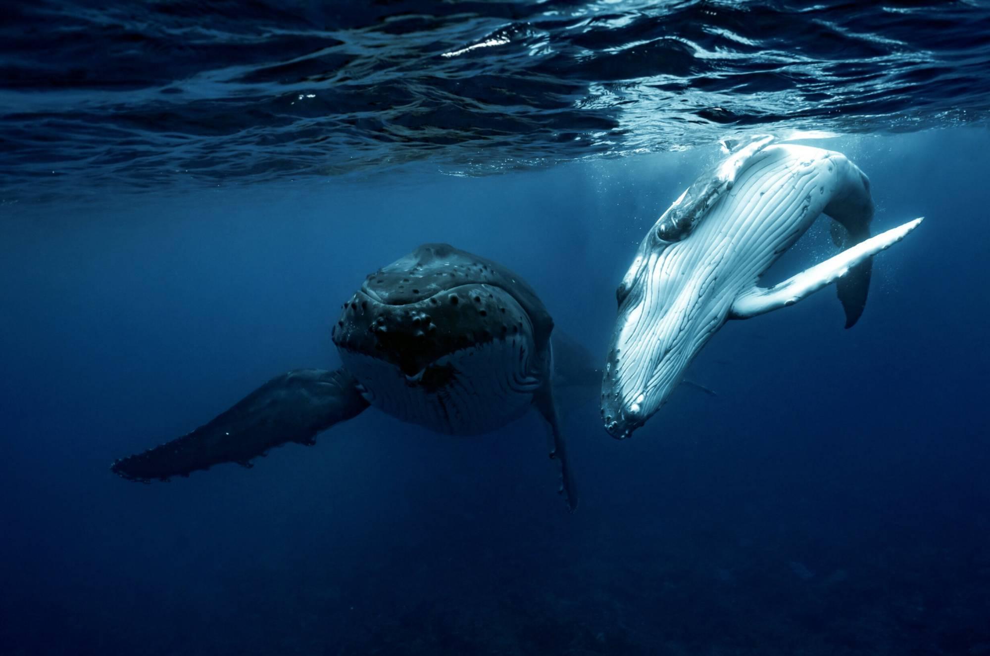 Baleineau à bosse et sa mère