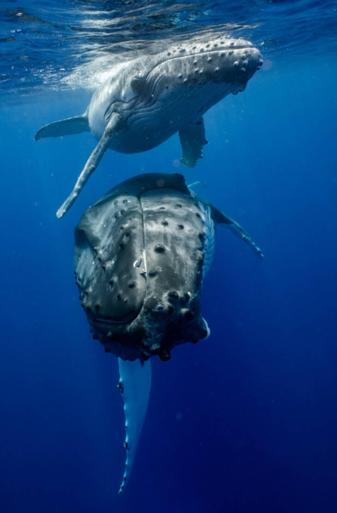 Baleineau à bosse nage avec sa mère