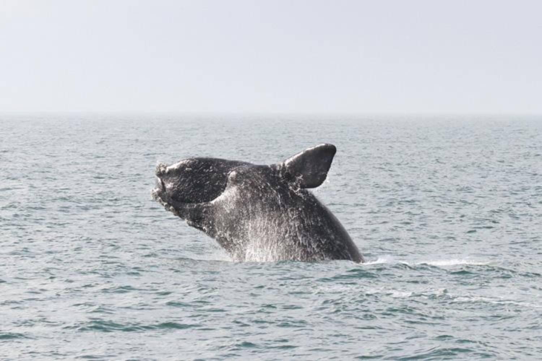 Brèche baleine franche Groenland
