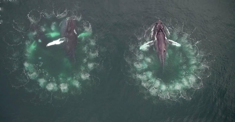 Duo baleine à bosse