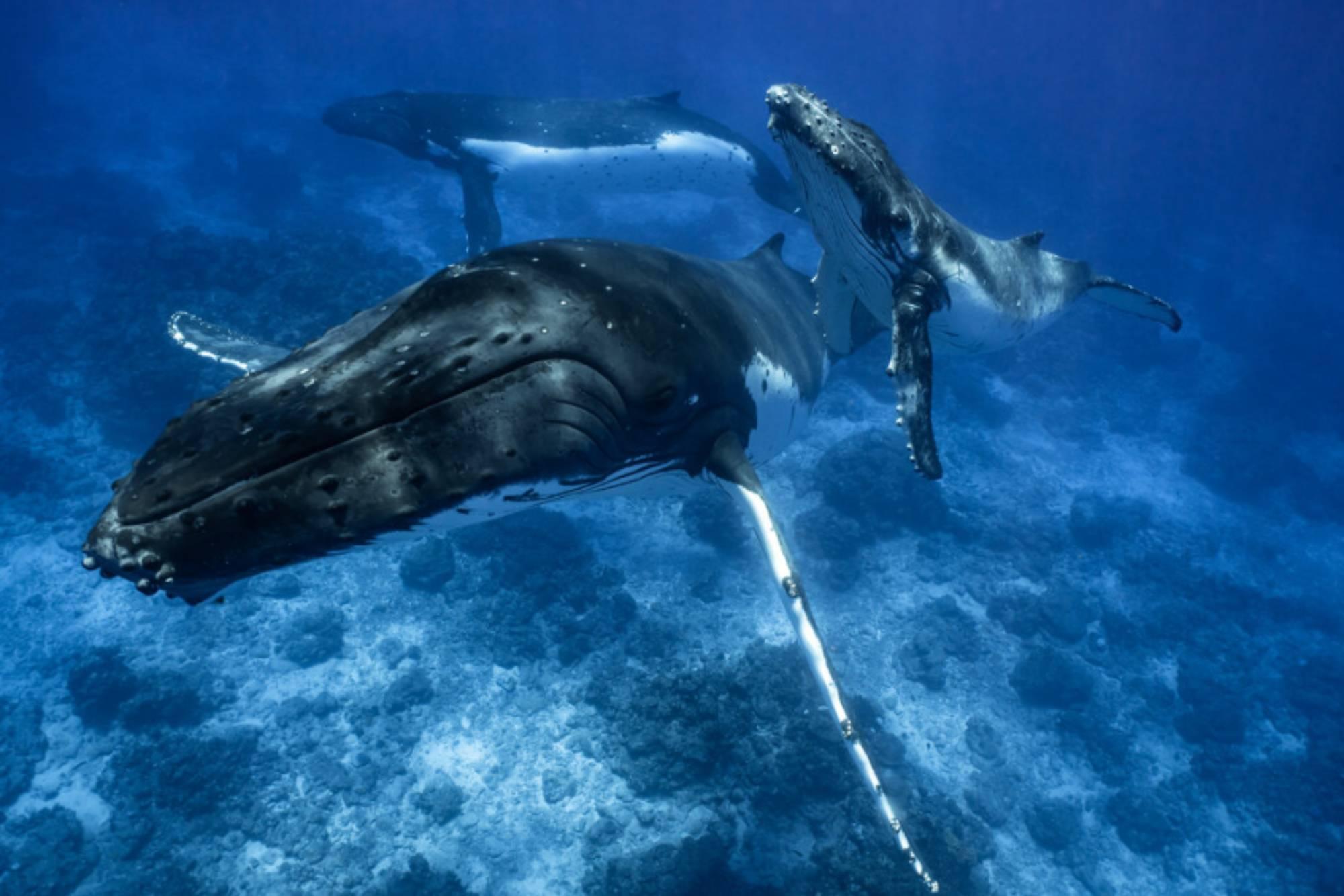 La parade nuptiale baleine à bosse