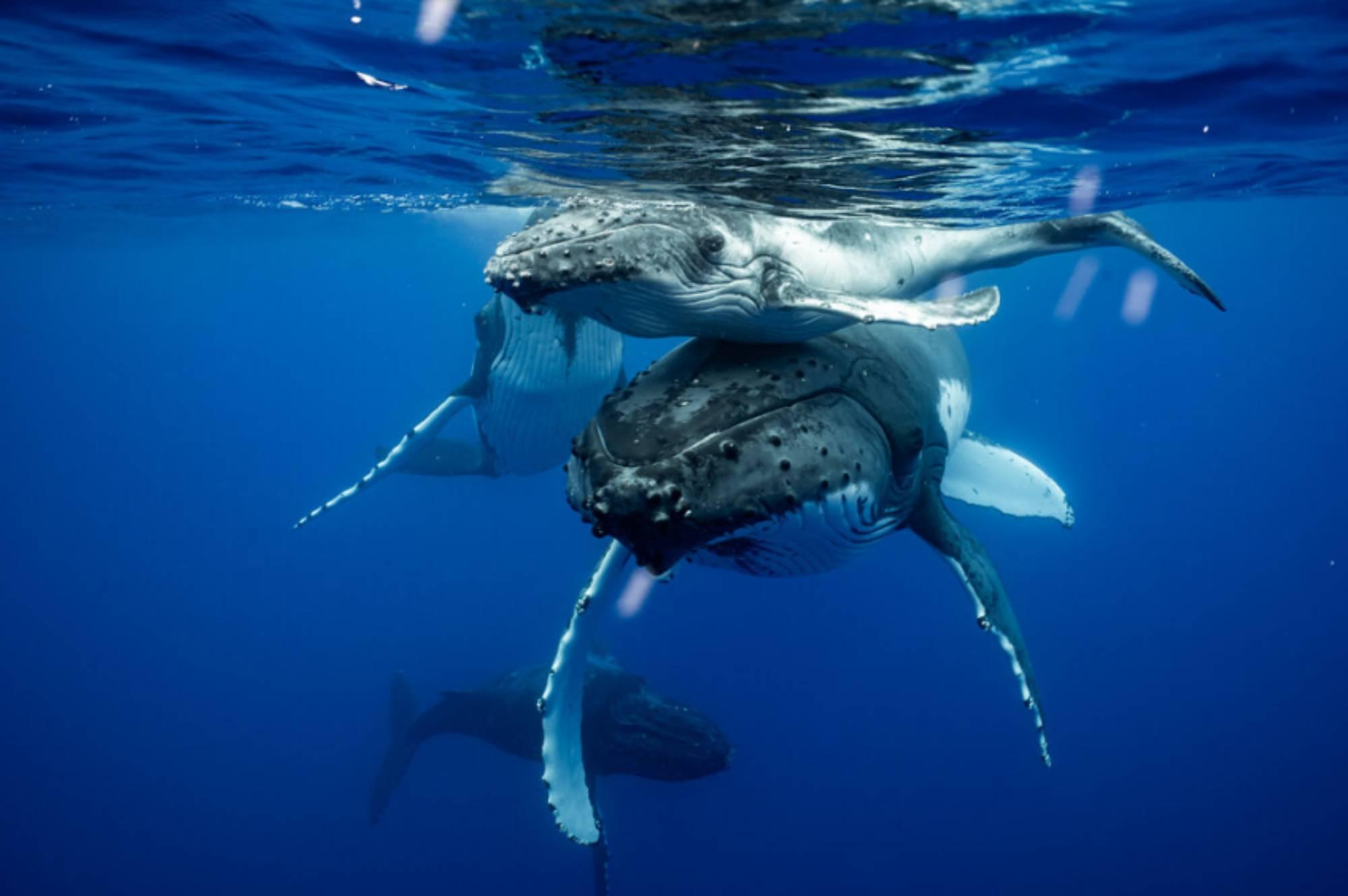 Mère baleine à bosse porte son baleineau