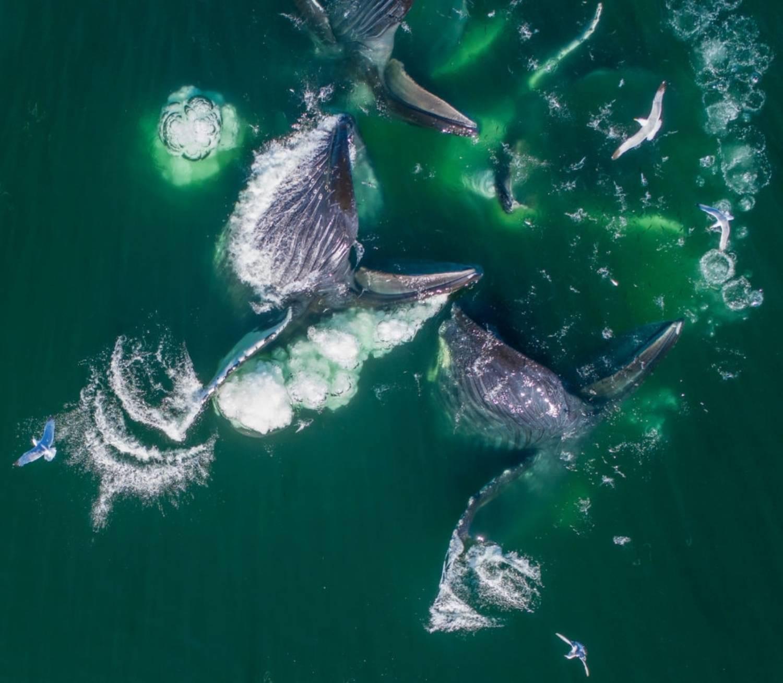 Nourriture Baleine à Bosse Australie