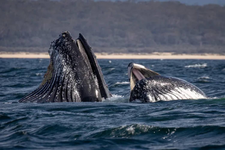 Nourriture baleine à bosse Nouvelle Galles du Sud