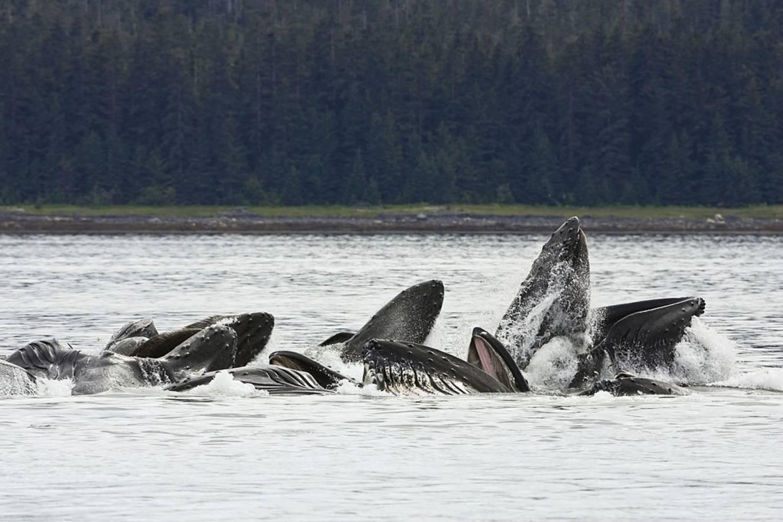 Nourriture baleine à bosse surface