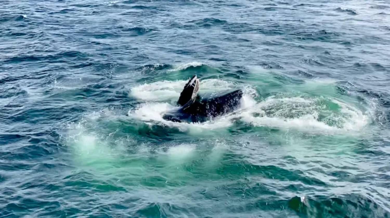 Nourriture baleines à bosse Australie