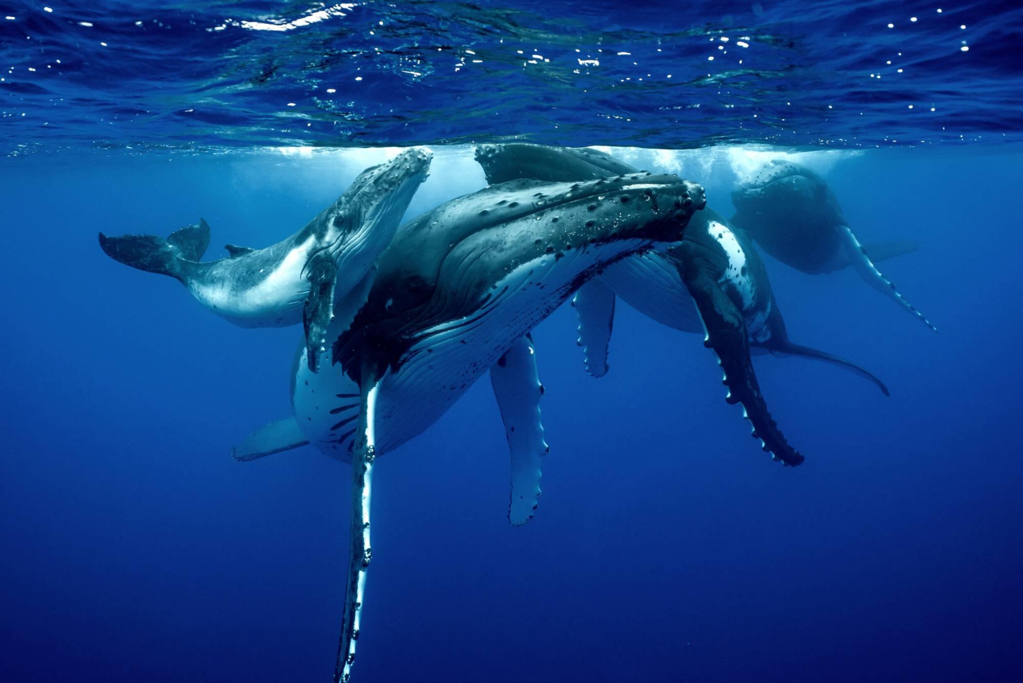 Parade Nuptiale Baleine à Bosse