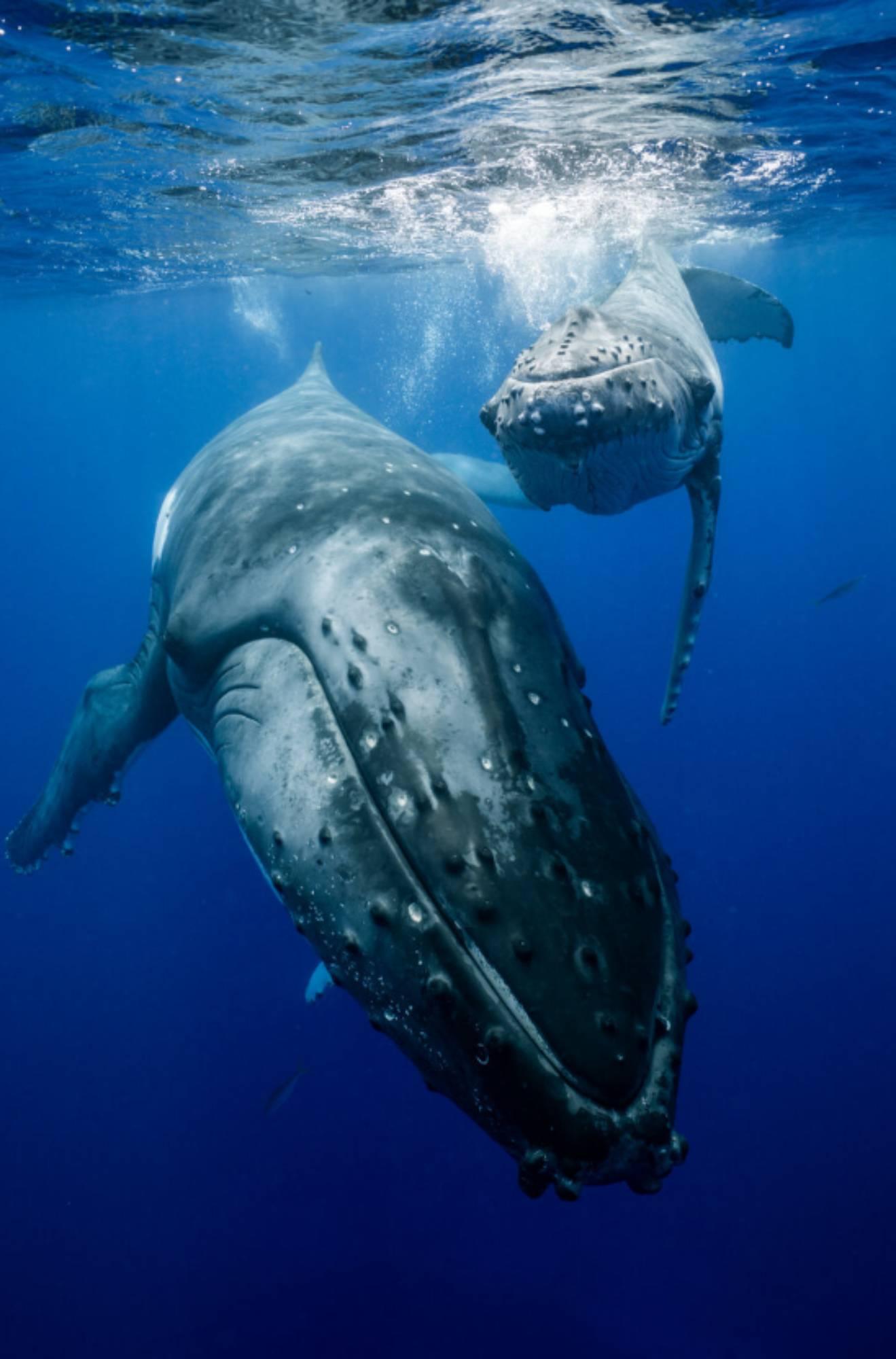 Prise d'air baleineau à bosse
