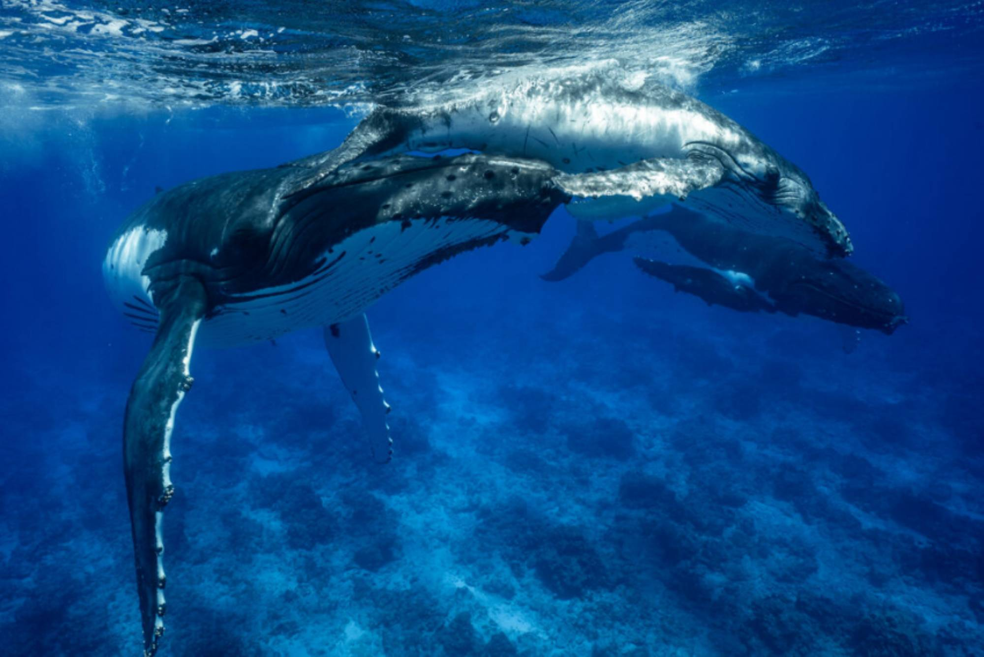 Respiration baleineau à bosse