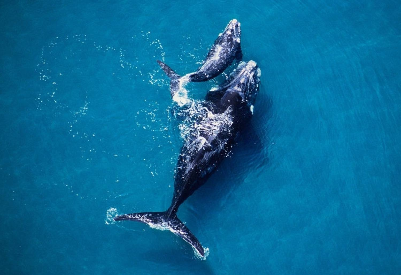 Taille Baleine Franche Boréale