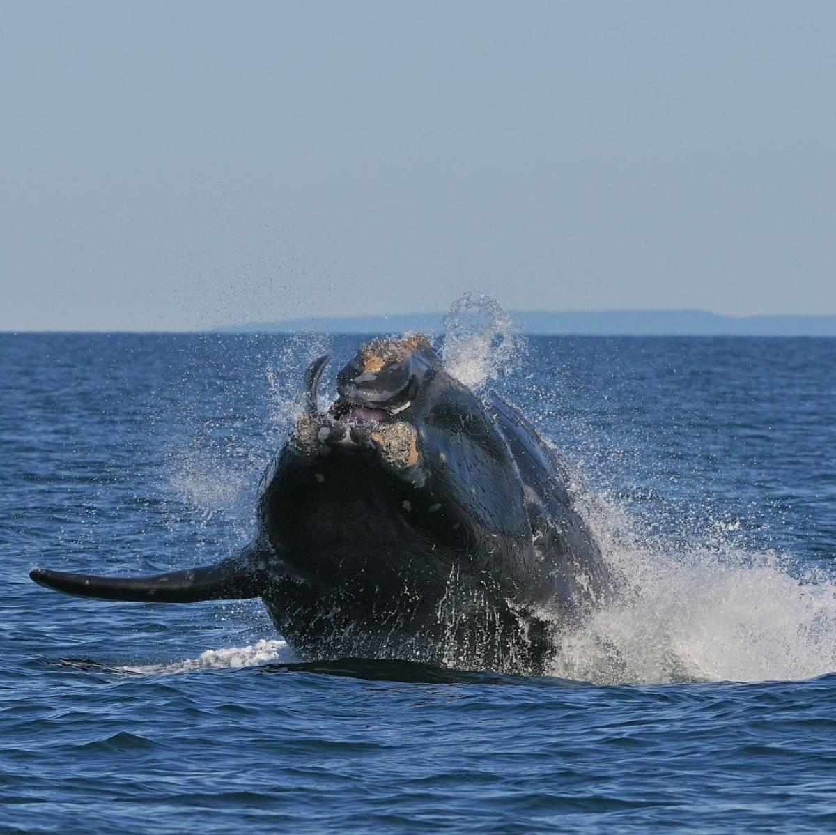 Tête baleine franche boréale