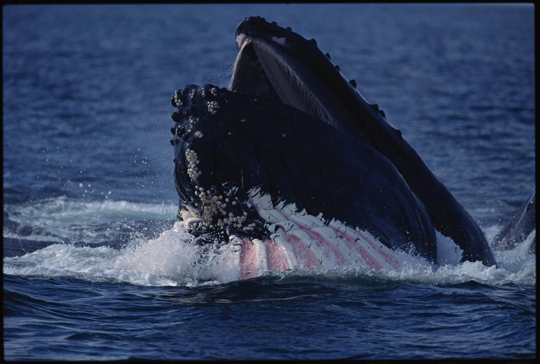 Baleine à bosse sillons ventraux