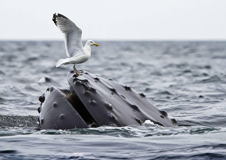 Goeland et baleine à bosse