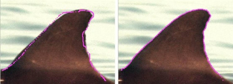 Nageoire dorsale dauphin