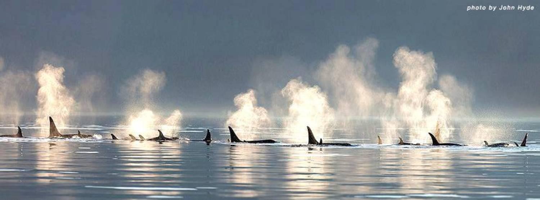 Nageoire dorsale orque 3